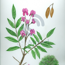 Andira fraxinifólia0001 copy