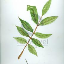 Tapira guianensis0001 copy