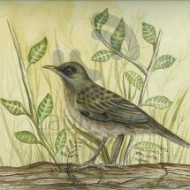 Turdusarnausochalinus copy