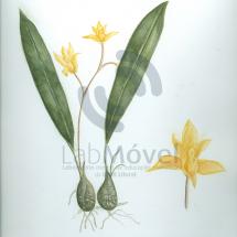 bifrenaria aureo-fulva0001 copy