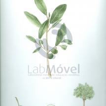 calophyllum brasiliensis0001 copy