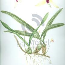 maxillaria marginata0001 copy