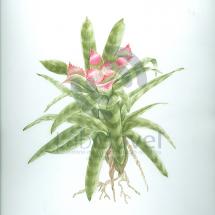 nidularium innocentii0001 copy