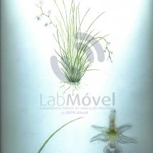 phymatidium falcifolium0001 copy