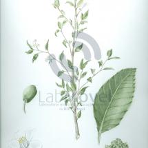 symplocos uniflora (pohl) benth0001 copy